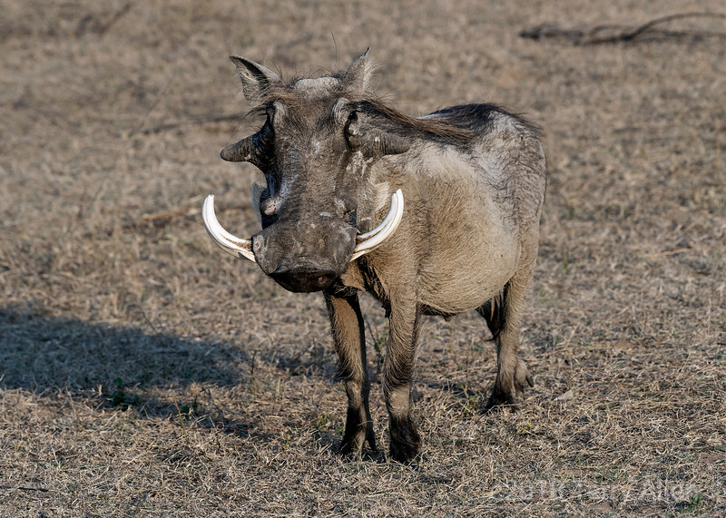 'W' is for warthog