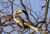 'Y' is for yellow-billed hornbill