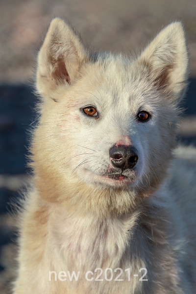 Portrait of a sled dog
