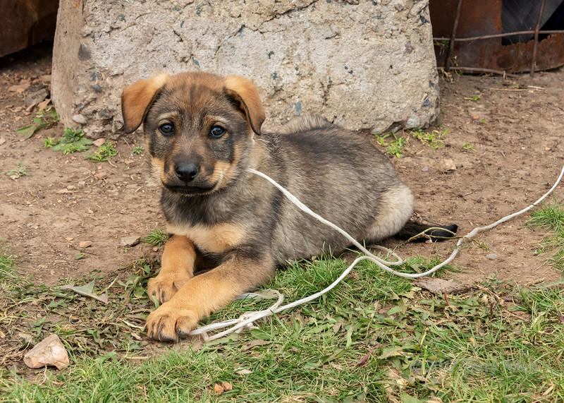 Herding dog in training