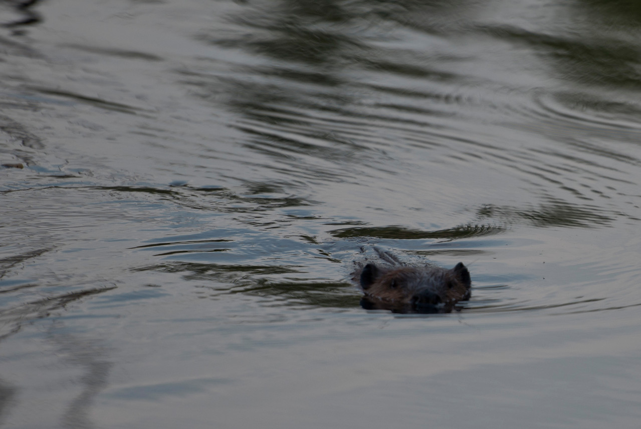 July 16 - A beaver was checking me out tonight.