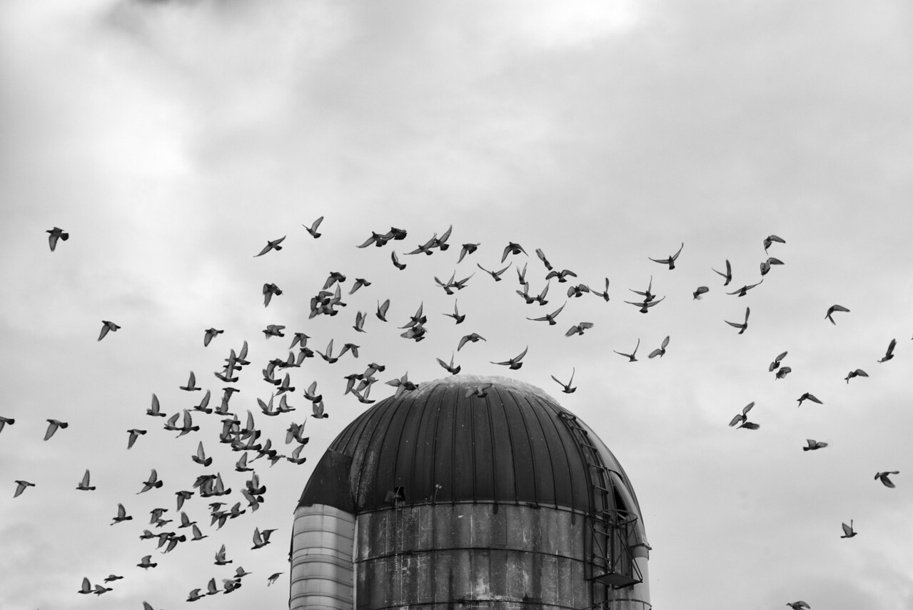 January 5 - Rock Dove Flock exploding from a silo