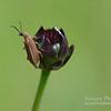 Helanthus radula