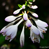"""HOSTA FLOWER and BUDS"""