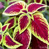 """PERENNIAL COLEUS LEAVES"""