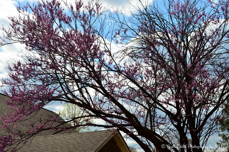"""TREE OF REDBUDS"""