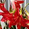 """OXBLOOD LILY"" (also referred to as ""SCHOOLHOUSE LILY"")"