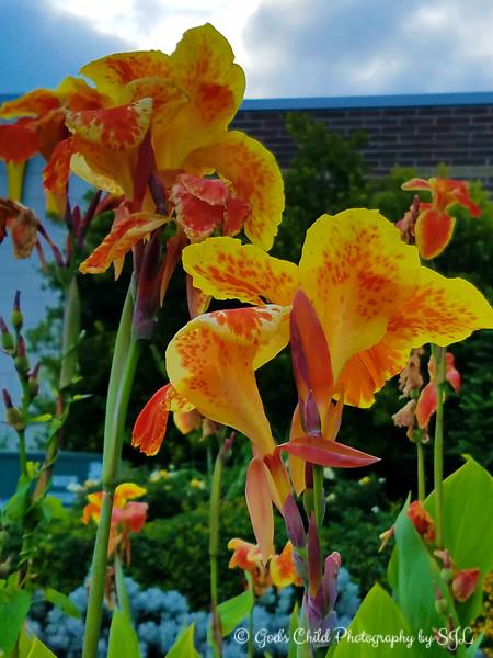 """YELLOW KING HUMBERTS"" (aka Canna Lilies)"
