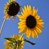 """SUNFLOWER TRIO"""
