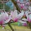 """JAPANESE MAGNOLIAS"" (aka ""Tulip Flowers"")"