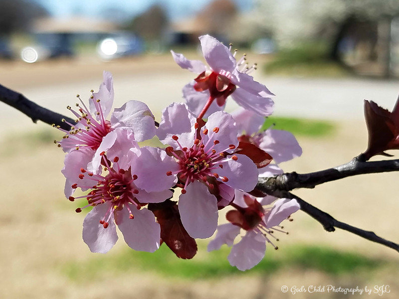 """CLUSTER OF PEACH BLOSSOMS"""