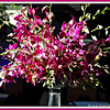 """ABUNDANT BEAUTY OF BOMBAY DENDROBIUM ORCHIDS"""