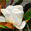 """SOUTHERN MAGNOLIA"""