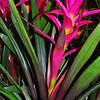"""""""TROPICAL FLAIRE"""" (Bromeliads)"""