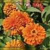 "Monday, September 5, 2011       (Labor Day)  ""ORANGE"" YOU GLAD?  SOOC, other than the border, which was created with Picnik...........""The Field of Zinnias""  I am so glad to have today off; work has been keeping me quite busy and we attended a beautiful wedding on Saturday.  When Donna McCommon posted her ""Zinnia Bud"" shot on 7/25/2011, I had already uploaded this pic earlier in the day. It was taken, along with several other variety of zinnias, in a field that I spotted while riding around our city. I immediately thought, ""Great minds think alike."" It was a scorcher of a day with temps in the upper, upper 90s; and the sun was beaming down upon the field of blooms.   Orange is a healing color. It expresses vitality and creativity, endurance and warmth. Sincere and dynamic, orange is a color that stands out. It is filled with enthusiasm and happiness. Orange is often associated with Autumn, as it represents the shade of falling leaves, Halloween pumpkins and oranges. Orange is the color of the changing seasons, from summer to winter. A flamboyant shade, a combination of red and yellow, orange is warm and flashy at the same time. Orange symbolizes curiosity, as well. It is associated with friendly people and communicative, sociable ones, too.  I really appreciate the comments/feedback on my pics; I also enjoy perusing and commenting on your wonderful pics as well.  You can view the entire gallery here: http://www.smugmug.com/gallery/16179827_QjTWRB#1460261892_3j4Pnpw  Have a happy and safe Labor Day!  ***#8 photo of the day***  (photo taken 7/25/2011)"