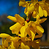 """INSECTS INVADING FORSYTHIAS"" (aka ""Golden Bells"")"