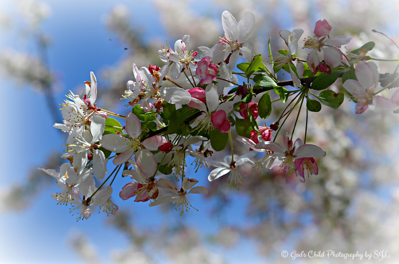 """""""THE TRANSFORMATION"""" (Crab Apple/Crabapple Blossoms)"""
