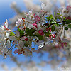 """THE TRANSFORMATION"" (Crab Apple/Crabapple Blossoms)"