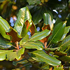 """SOUTHERN MAGNOLIA LEAVES"""