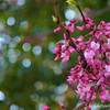 """BOKEH AND BUDS"" (Redbuds, that is)"