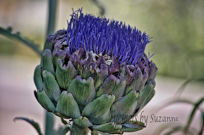 Artichoke Flower Although most think of artichokes as food, if left unharvested, artichoke buds form large pink or purple thistle-like flowers. The flowers, while not edible, have beautiful  color and texture.  I love them!