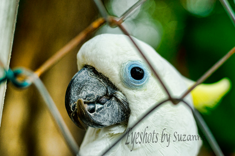 Cockatoo<br /> Wild Bird Center Tavernier, Key Largo, Florida<br /> <br /> Thanks for your comments! <br /> Some of the birds in cages are not able to fend for themselves in the wild.  This one does look a little worse for wear.  I had to wait for his head to be in just the right place between the fencing, and they don't sit still long!