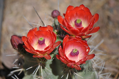 ALL ABOUT RED  Prickly Pear Cactus in bloom from the Desert Botanical Gardens!