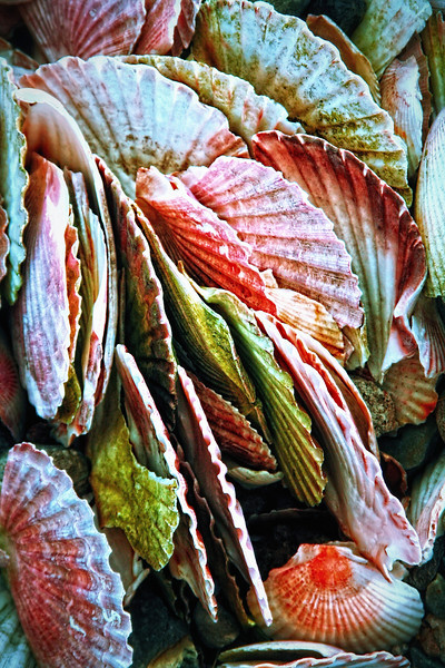 Scallop Shells<br /> Pictured by Michelle<br /> Post date: 27th February 2014