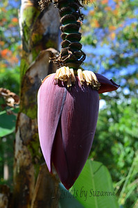 The banana tree pod.  Growing everywhere here in Atenas, Costa Rica.