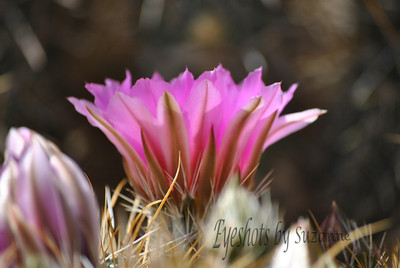 Pink bloom in the Desert - despite the heat - a beautiful flower.  THINK PINK  for Breast Cancer Awareness!