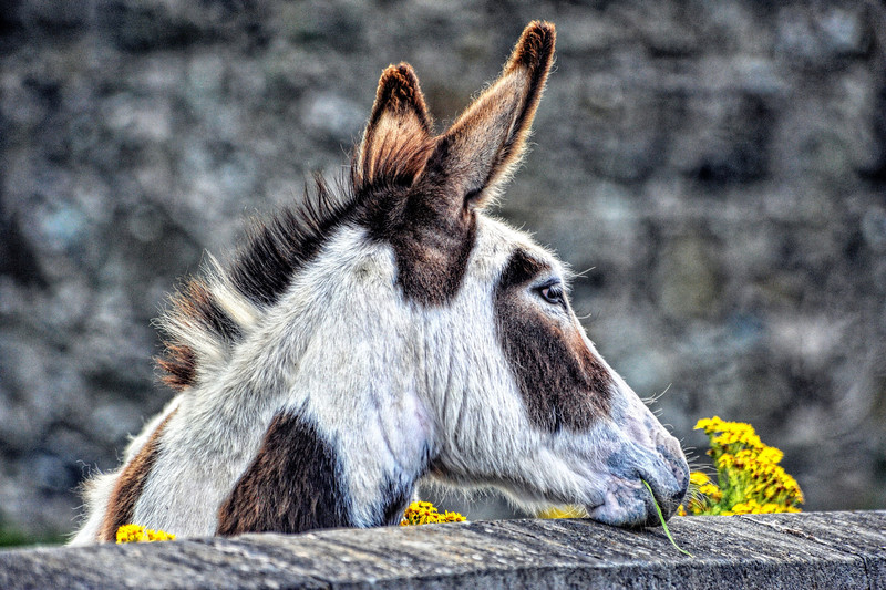 Donkey looking over a wall.<br /> Maghera<br /> County Londonderry.<br /> Picture date: 4th August 2013<br /> Post Date: 4th August 2013