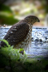 Young Cooper's Hawk - was lucky to catch him taking a drink from the fountain at Boyce Thompson Arboretum