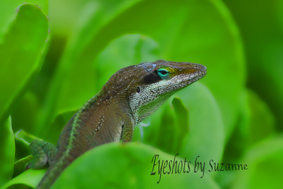 I was photographing the huge waves on Kapalua Beach, Maui, and walking back up from the beach I spotted this Green Anole Gecko posing for me.