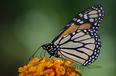 Monarch Butterfly.  Found some of the largest and most beautiful butterflies at Boyce Thompson Arboretum last weekend.  The Lantana is in bloom and they never quit moving.