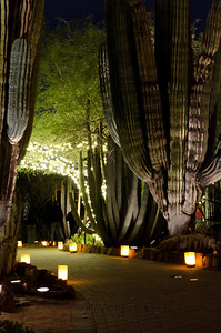 Saguaros and  Luminarias at the Desert Botanical Gardens, Phoenix, AZ