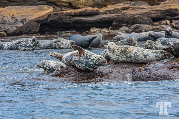 seals-Bird-island-cape-breton-ns-9