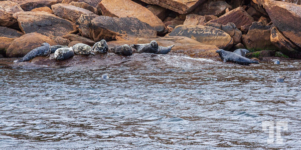 seals-Bird-island-cape-breton-ns-7
