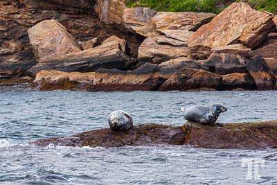 seals-Bird-island-cape-breton-ns-6