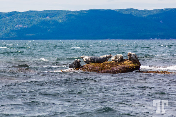 Seals-Bird-island-cape-breton-ns