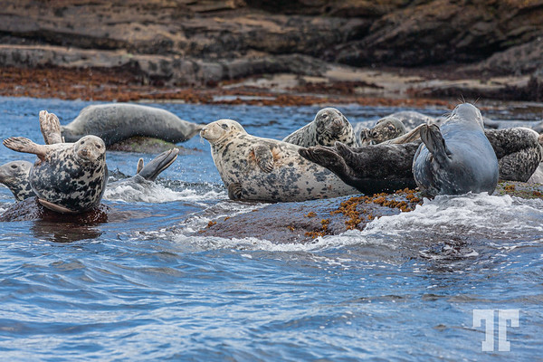 seals-Bird-island-cape-breton-ns-10