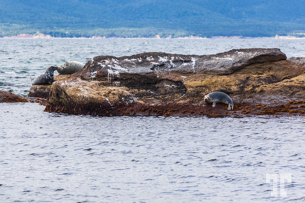 seals-Bird-island-cape-breton-ns-3