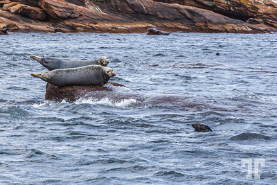 seals-Bird-island-cape-breton-ns-5