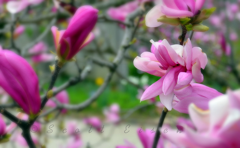 Magnolia Tree<br /> <br /> Daily Photos  -  August 30, 2011