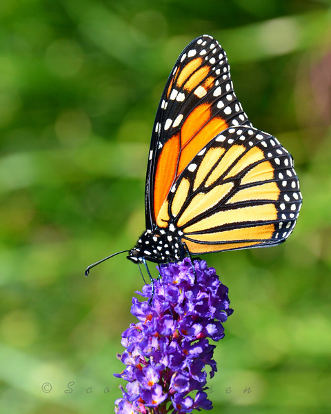 Monarch stopping in for a quick snack and a breather... <br /> <br /> Daily Photos  -  September 28, 2011<br /> <br /> Photo taken at the Chicago Botanic Gardens