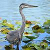 Blue Heron<br /> <br /> Daily Photos  -  September 12, 2011