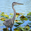 Blue Heron<br /> <br /> Daily Photos  -  September 12, 2011