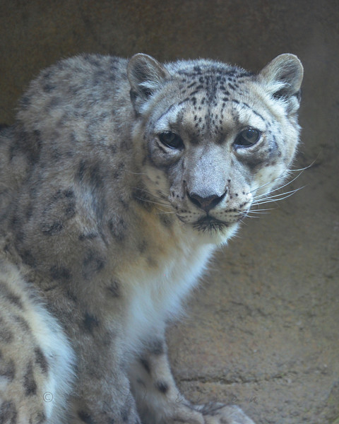 Face-to-face with a Snow Leopard<br /> <br /> Daily Photos  -  June 6, 2011