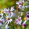 Purple Aster & Friend<br /> <br /> Daily Photos  -  October 21, 2011