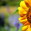 Sunflower<br /> <br /> Daily Photos  -  July 15, 2011
