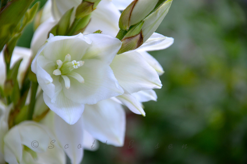 Yucca Plant in Bloom<br /> <br /> Daily Photos  -  July 17, 2011